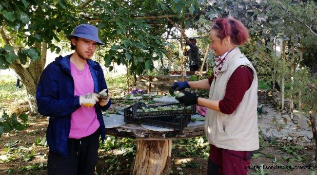Kırşehir'de organik tarım gönüllüsü yabancı turistler ceviz topladı