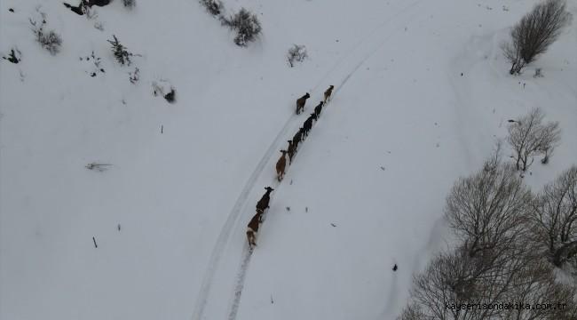 Develi'de çiftçinin kaybolan inekleri drone yardımıyla bulundu