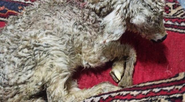 Yahyalı'da tipiye yakalanan 70 koyun telef oldu