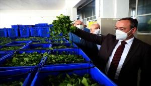 ÇAYKUR Genel Müdürü Yusuf Ziya Alim, yaş çay sezonunu değerlendirdi: