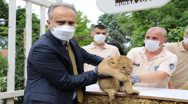 Bursa Hayvanat Bahçesi'nde yavru aslan sevinci